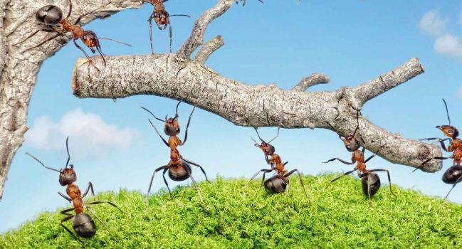 Semut-Semut yang Menjadi Juru Masak di Dapur Timur